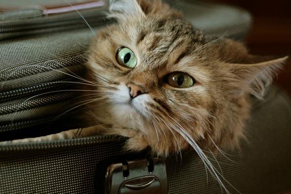 путешествовать с кошкой